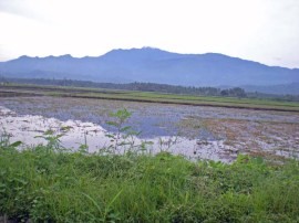 Wet Rice Fields