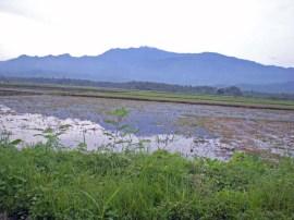 Wet Rice Fields